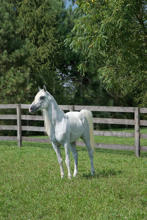 "Picture of a proud white Arabian horse ""out standing in his field."""