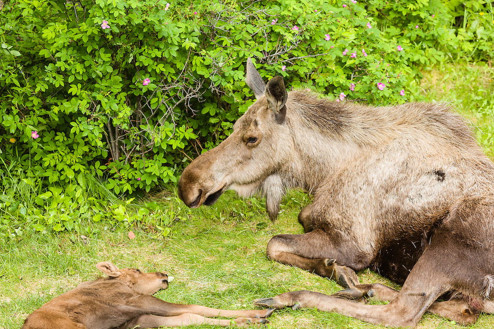 A cow and newborn calf moose (Alces alces) find rest and refuge from predators in a yard in Eagle River in Southcentral Alaska. Spring. Morning.