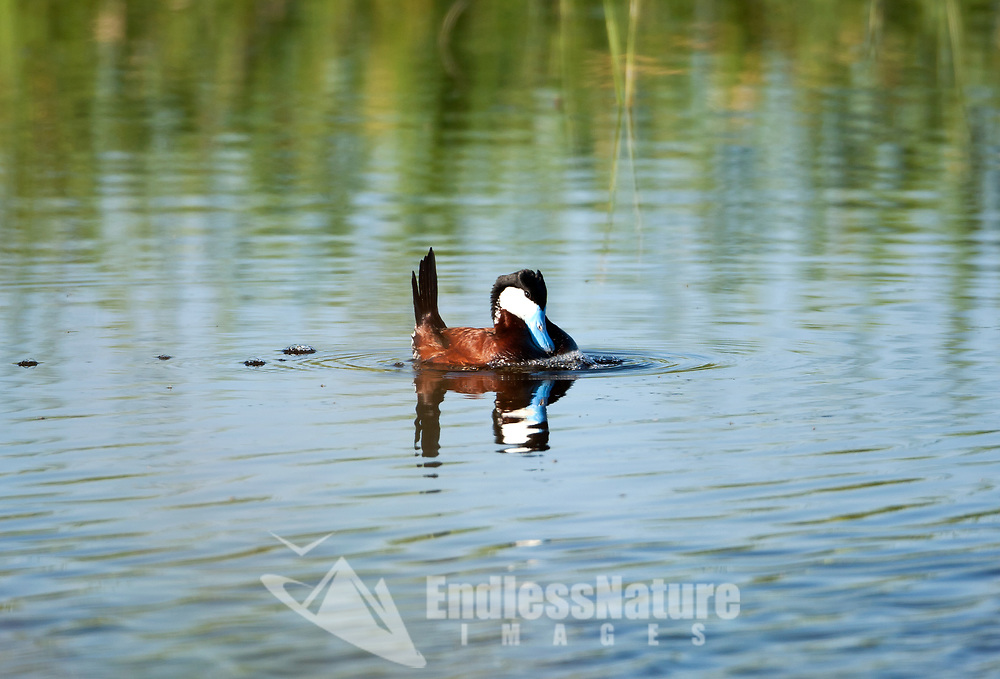 A male Ruddy Duck displays for a female its tail up and makes a drumming sound by beating on its breast.