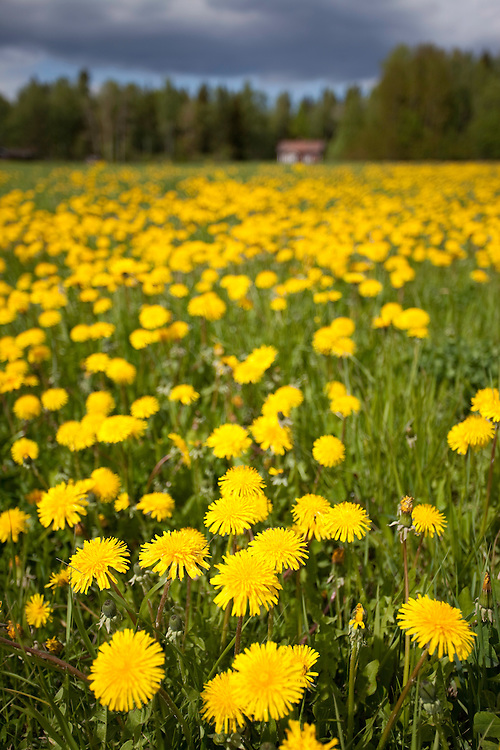 Field of dandelions (Taraxacum sp.) in full flower, Bergslagen, Sweden.