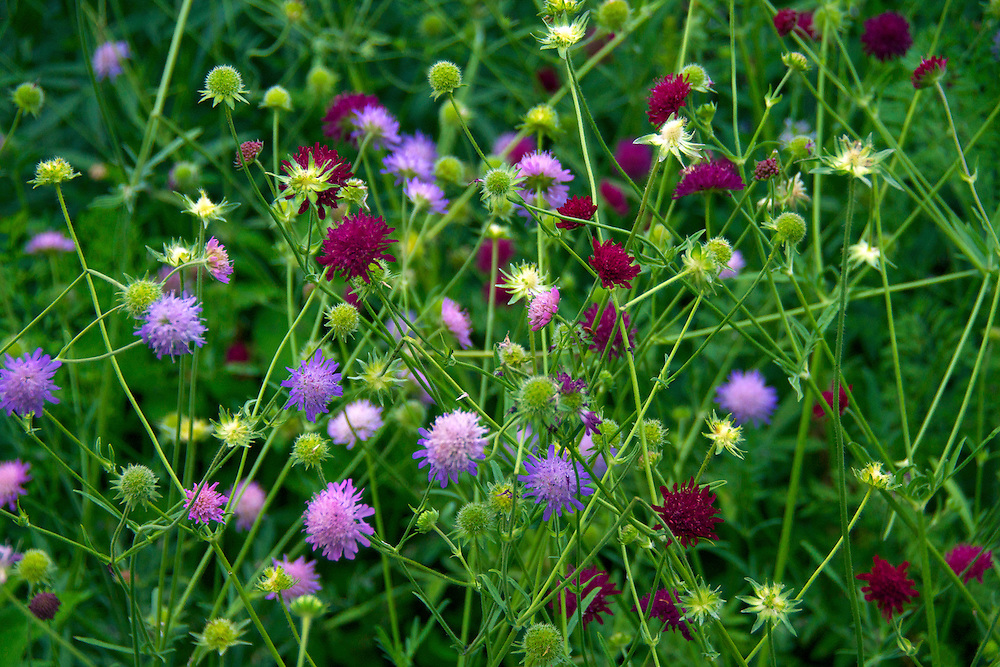 A mix of pink, purple and red flowers known as Knautia Scabiosa.  The photograph was taken at Genetti Gardens in Rubicon, Wisconsin.
