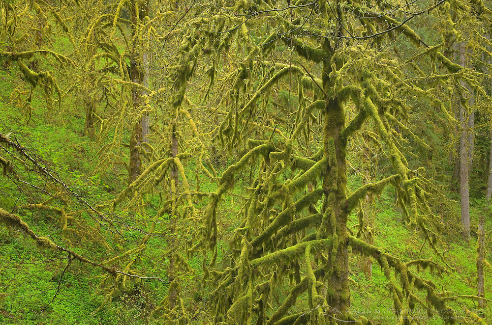 Rain forest in spring, Silver Falls State Park, Oregon