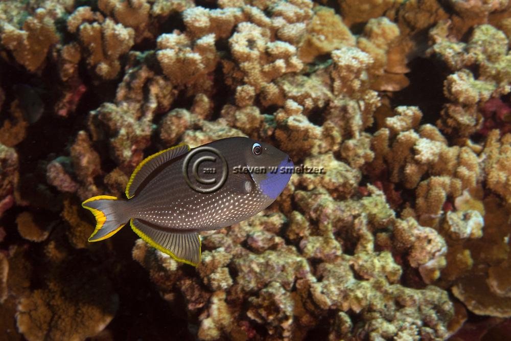 Gilded Triggerfish Gilded Triggerfish, Xanthichthys auromarginatus, (E. T. Bennett, 1832), Hawaii