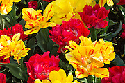 WA13068-00...WASHINGTON - Colorful display of double tulips blooming in a display garden at RoozenGaarde Bulb Farm near Mount Vernon.