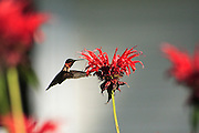 a male humming bird approaches a beebaum flower for nectar no property release