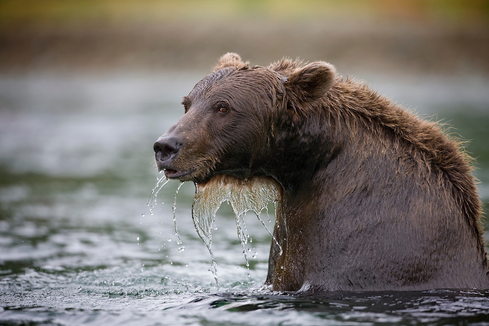 USA, Alaska, Katmai National Park, Kinak Bay, Brown Bear (Ursus arctos) swimming in river while fishing for spawning salmon on autumn day