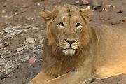 Sasan Gir - Sunday, Jan 07 2007:  A male Asiatic Lion at Gir National Park. (Photo by Peter Horrell / http://www.peterhorrell.com)
