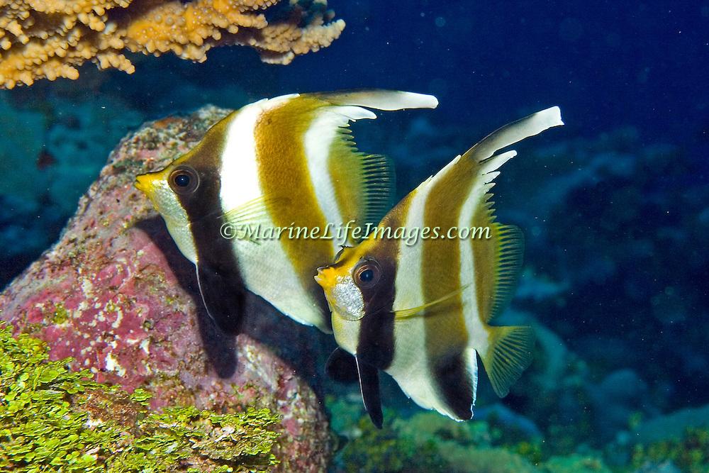 Inhabit reefs. Pictuer taken Fiji.