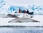 Crabeater seals (Lobodon carcinophaga) rest on an ice floe in Antarctica. Ecotourists in a Zodiac boat cruise nearby. Crabeater seals are the most numerous large species of mammal on Earth, after humans and cattle. Contrary to their name, Crabeater seals primarily eat krill, using  finely-lobed teeth adapted to filtering their tiny crustacean prey. Published in Wilderness Travel Antarctica Brochure 2009, 2010.