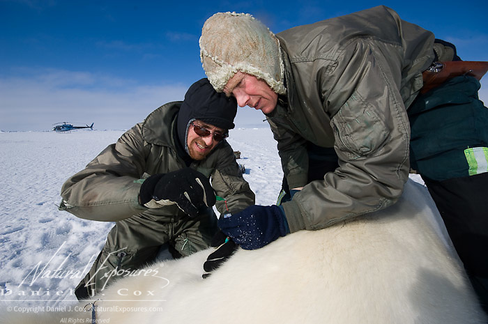 Steve Amstrup and Geoff York, USGS biologists, taking a biopsy from an immobilized large male, polar bear (Ursus maritimus). Kaktovik, Alaska.