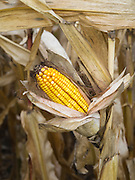 Drying corn on the stalk; Fitchburg, Wisconsin; 25 Oct 2011