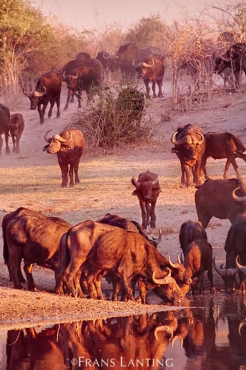 Cape buffalo at watering hole, Syncerus caffer, Okavango Delta, Botswana