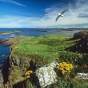 Lunga is the largest island in an archipelago of small islands and skerries that stretches roughly 7 kilometres (4.3 m) called the Treshnish Isles. Lunga is designated a Site of Special Scientific Interest because of its abundant plant life. Many rare and endangered plants are native to the island. Plants include primrose, birdsfoot trefoil, orchids, sea campion, sea thrift, sea pinks, yellow flags, tormentil and the oyster plant. The Treshnish Isles are also designated as a Special Protection Area due to their importance for breeding seabirds such as storm-petrels, kittiwakes, Manx Shearwaters, guillemots, puffins and fulmars. They are also a marine Special Area of Conservation and grey seals can be found there along with basking sharks, as I was pleased to discover. I particularly enjoyed watching the seabirds nesting on the precipitous cliffs, and a dramatic sea stack called the Harp Rock separated from the island by a narrow passage. It was hypnotic to watch the real masters of flight like the kittiwakes and fulmars launching from their precarious nests and soaring in graceful arcs in front of the cliffs and above the rocks and meadows.<br />