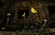 Butterflies make their way on the flowers at a temple at Angkor Archaeological Park.