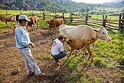 Jose Angel Galaviz Carrillo (squatting), a Pima farmer, milking a cow in a corral adjacent to his house in Maycoba, Sonora, Mexico. Milking is a chore that rotates among extended family members.  (Jose Angel Galaviz Carrillo is featured in the book What I Eat: Around the World in 80 Diets.)