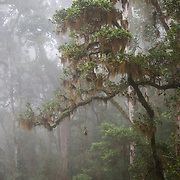 Misty oak forest in Chirripo National Park, Costa Rica.