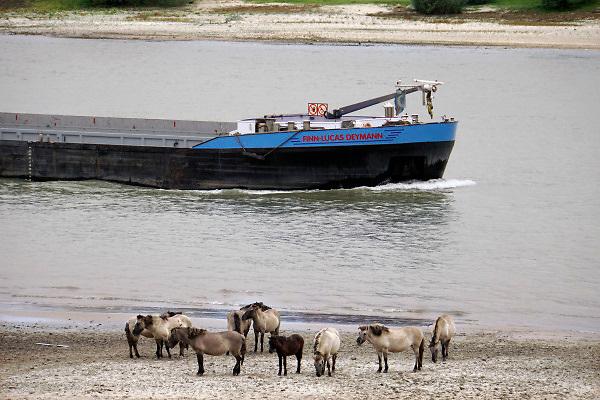 Nederland, the netherlands, Nijmegen, 25-10-2018 Nog nooit stond het water in de Waal zo laag . Binnenvaartschepen varen langs de oever en de ooijpolder. Door de aanhoudende droogte staat het water in de rijn, ijssel en waal extreem laag . Laagterecord en de laagste officiele stand ooit bij Lobith gemeten. Schepen moeten minder lading innemen om niet te diep te komen . Hierdoor is het drukker in de smallere vaargeul . Door te weinig regenval in het stroomgebied van de rijn is het de waterafvoer extreem weinig . Konikpaard kijkt naar de rivier. Konikpaarden staan langs het water .Foto: Flip Franssen