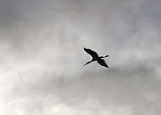 A wood stork flying silhouette in the Jekyll Island sky.