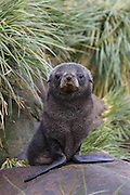 South American Fur Seal<br /> Arctocephalus australis<br /> 1-2 wek old pup(s)<br /> Prion Island, South Georgia