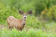 Mule Deer in Velvet, Western Montana