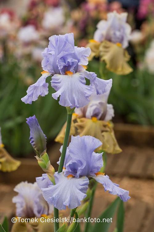 Iris 'Caroline de Monaco'