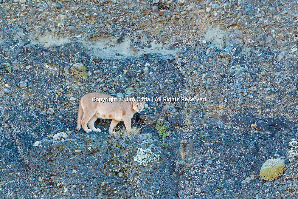 A mother puma turns around after walking along a ledge that ended.