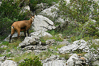Balkan Chamois, Rupicapra rupicapra balkanica, Gems, Paklenica National Park, Velebit Nature Park, Rewilding Europe rewilding area, Velebit  mountains, Croatia