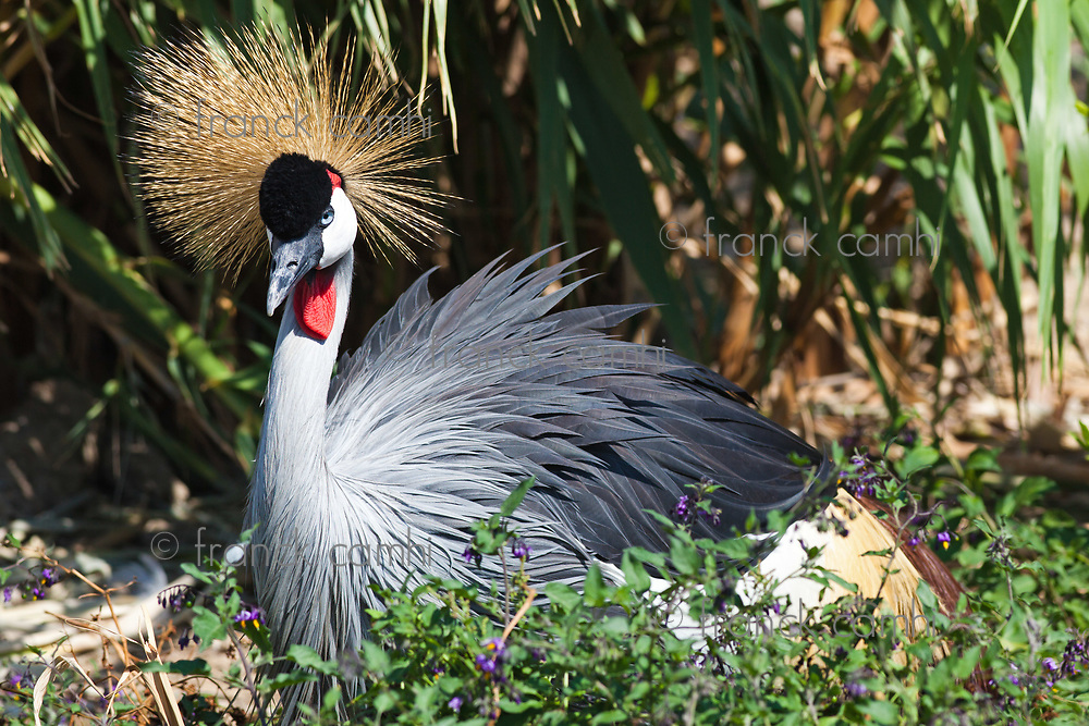 Black Crowned Crane in nature