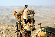 Closeup of a camel's head and open mouth