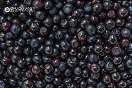 Closeup of freshly picked huckleberries in Whitefish, Montana, USA