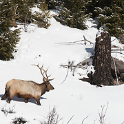 Two bull elk search for something to eat on the side of a small mountain
