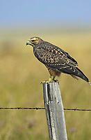 Rough-legged Hawk (Buteo lagopus). near to Marden, Alberta, Canada   Photo: Peter Llewellyn