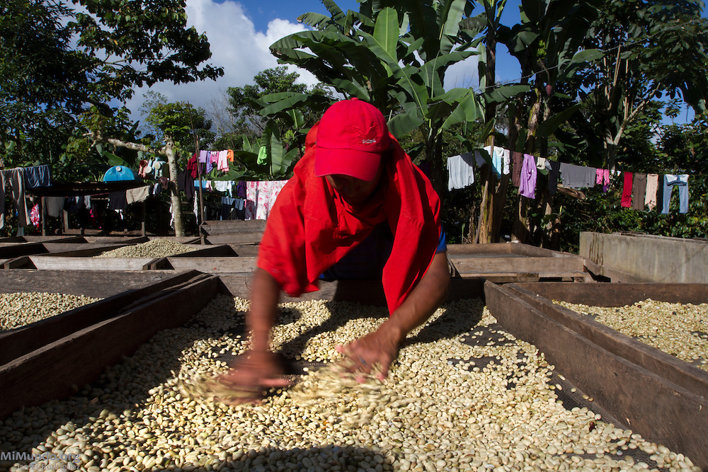 Ronald Antonio Molina, 22, mixes sun drying coffee beans from the lot of APAC member and small-scale coffee-producer Gabriel Gutierrez. APAC exports coffee certified by the Fairtrade Labelling Organization (FLO). Soledad I, Pantasma, Jinotega, Nicaragua. January 21, 2014.