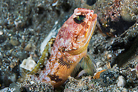 Brown blotched Jawfish <br /> Shot in Indonesia