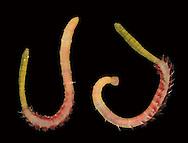 Blow Lug - Arenicola marina