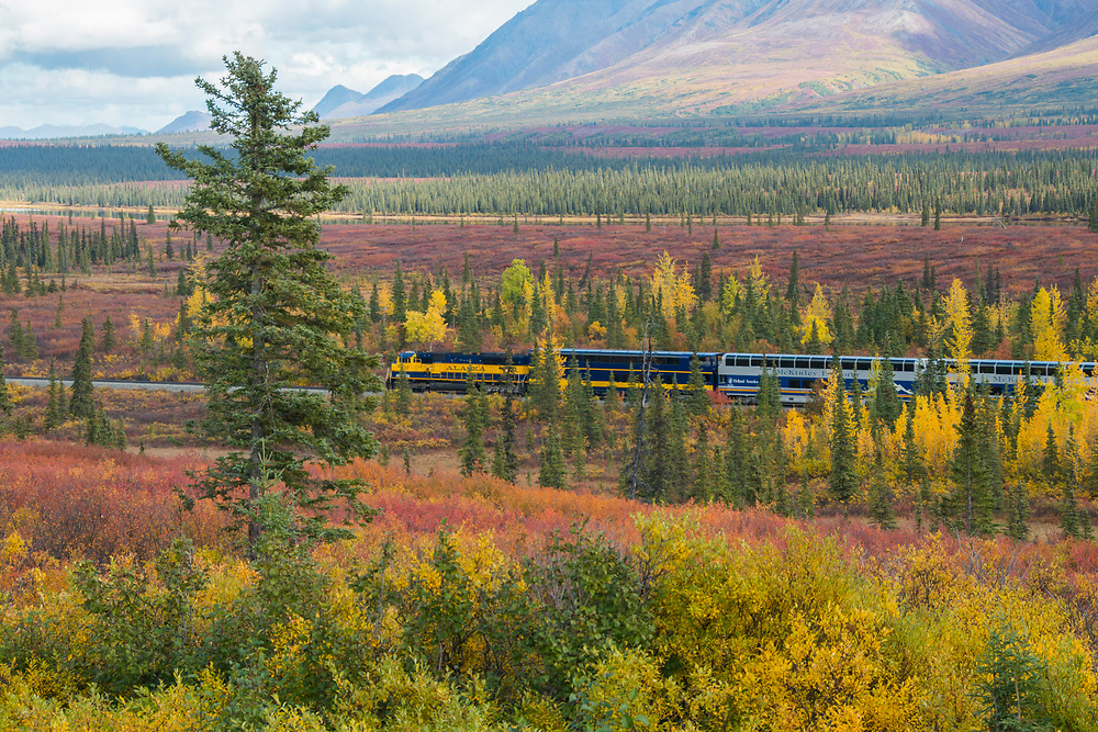 A train cuts through a sea of fall trees going through a stunning seasonal change.