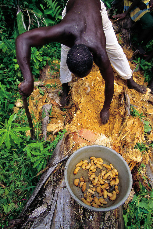 Joseph Kawunde, 56, collects the palm grubs, the larvae of the Capricorn beetle from dead palm trees then cooks them with salt, curry, and yellow onions. Bweyogerere, Uganda. (Man Eating Bugs page 145)