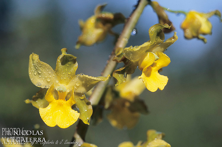 Orchidée sauvage, Cyrtopodium cristatum