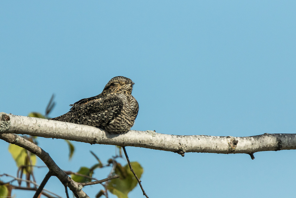 Nighthawk resting on its migration route