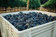 Anne Amie_Pinot Noir Harvest for sparkling wine.