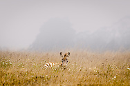 Young zebras resting in the grass on a hazy morning in California.