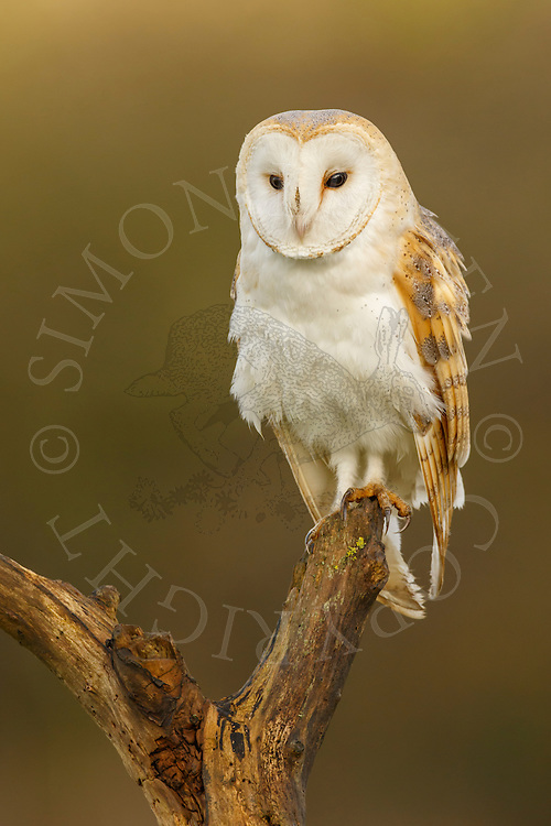 Barn Owl (Tyto Alba) adult perched on dead tree branch, Norfolk, UK.