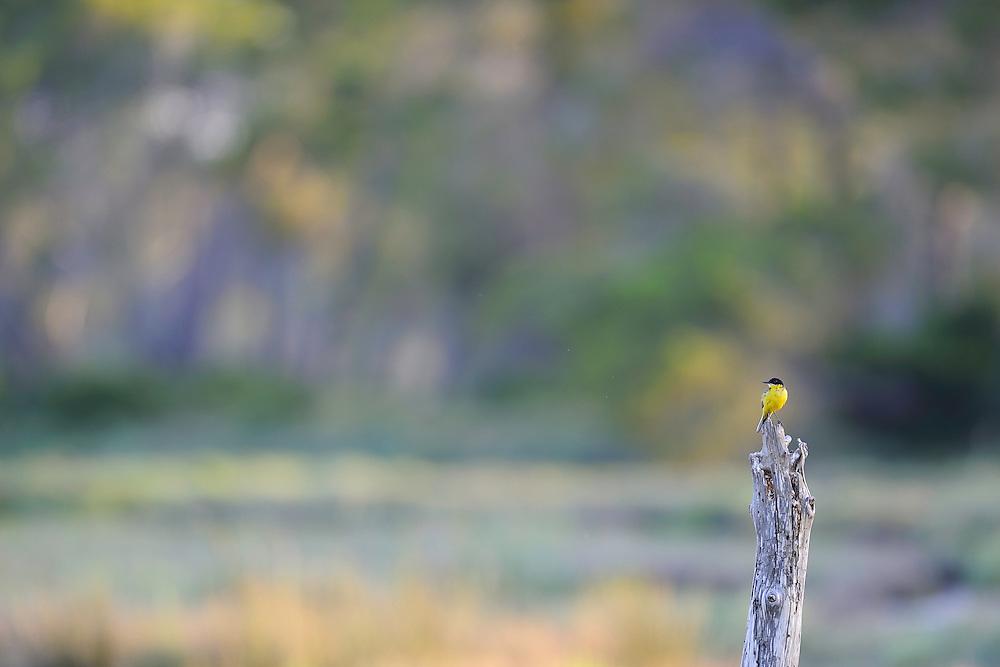 Yellow wagtail (Motacilla feldegg) in the delta pine forrest. The Karavasta Lagoons National Park, Albania June 2009