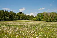 Beautiful spring meadow full of dandelions in Zufikon, Switzerland.