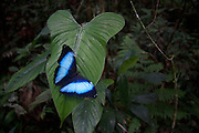 Morpho butterfly. Malinowsky Control Post in the Tambopata National Reserve at the confluence of Malinowsky and Tambopata Rivers in the Madre de Dios Department of Peru. The Tambopata National Reserve is part of the Manu - Tambopata Corridor.