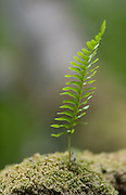 I was drawn to the beautiful shapes on this Polypody fern growing on a tree stump in Berriedale wood.