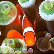 False clown anemonefish in sea anemone.