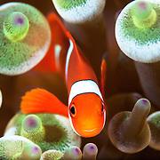False clown anemonefish in sea anemone.