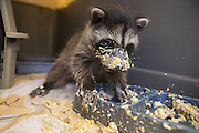 Raccoon <br /> Procyon lotor<br /> Seven-week-old orphaned baby eating first solid food in crate in backyard of foster home <br /> WildCare, San Rafael, CA