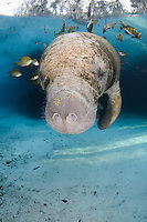 Florida manatee, Trichechus manatus latirostris, a subspecies of the West Indian manatee, endangered. A young manatee floats near a warm blue spring surrounded by fish, bream, Lepomis spp. The manatee is tolerating the fish attention as it is the price to pay for sharing the warm waters. Bream target dermis and dead skin on the manatee.  The manatee is flinching as the fish bite too deeply close to its eye. Vertical orientation with blue water and light rays. Three Sisters Springs, Crystal River National Wildlife Refuge, Kings Bay, Crystal River, Citrus County, Florida USA.